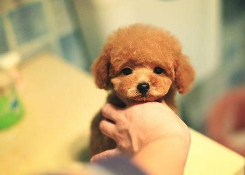 成都专业繁殖纯种泰迪幼犬可送货上门签协议保健康24