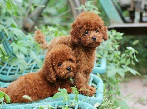 成都专业繁殖纯种泰迪幼犬可送货上门签协议保健康20