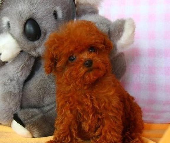 成都专业繁殖纯种泰迪幼犬可送货上门签协议保健康22