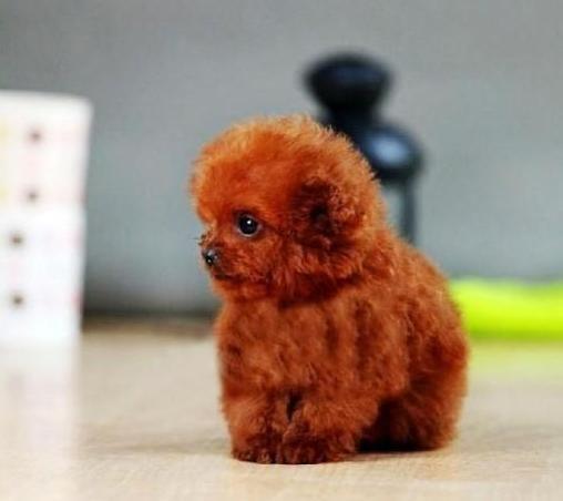 成都专业繁殖纯种泰迪幼犬可送货上门签协议保健康23