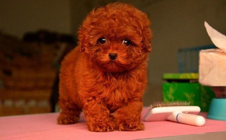 成都专业繁殖纯种泰迪幼犬可送货上门签协议保健康28