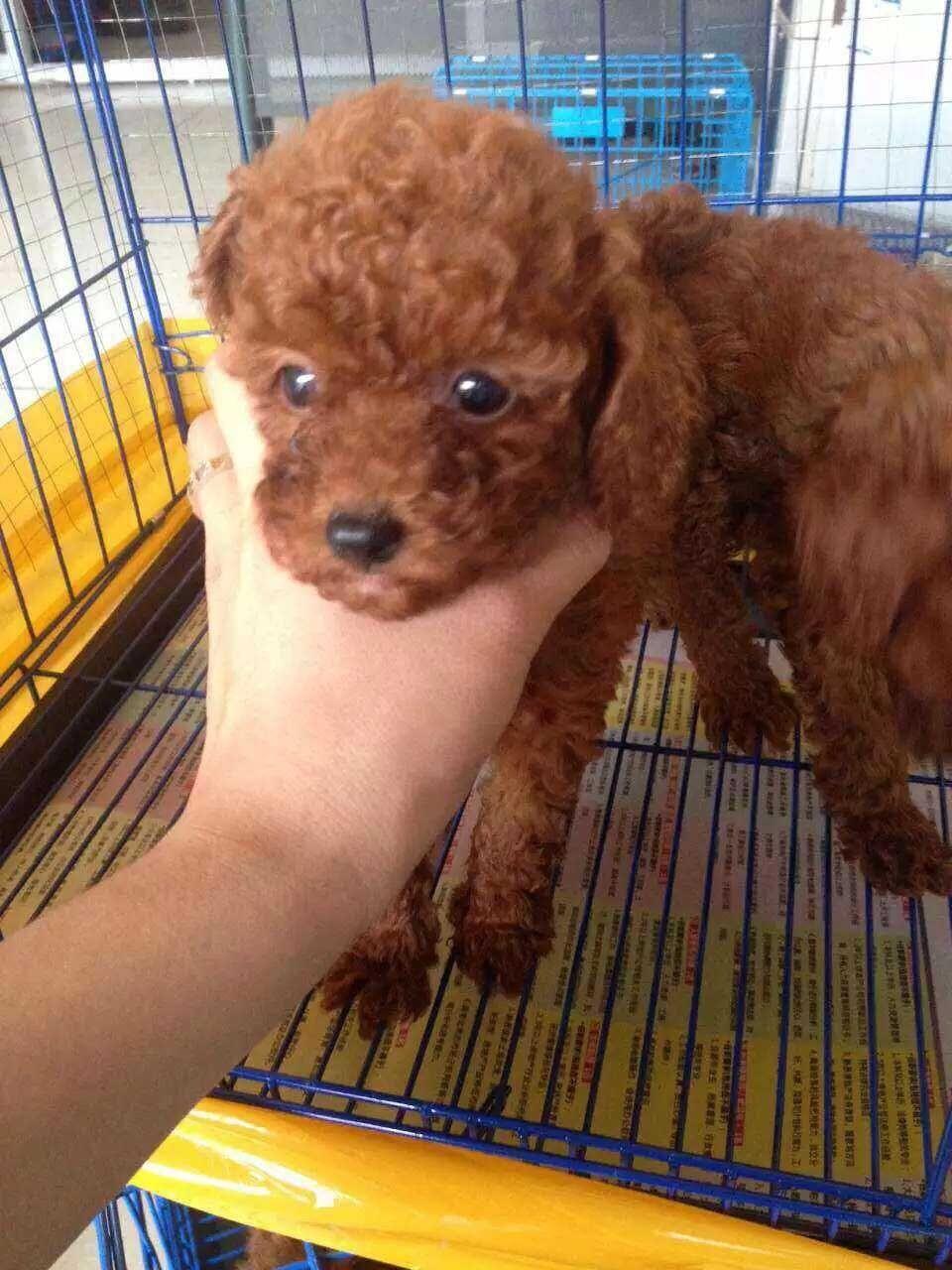 成都专业繁殖纯种泰迪幼犬可送货上门签协议保健康12