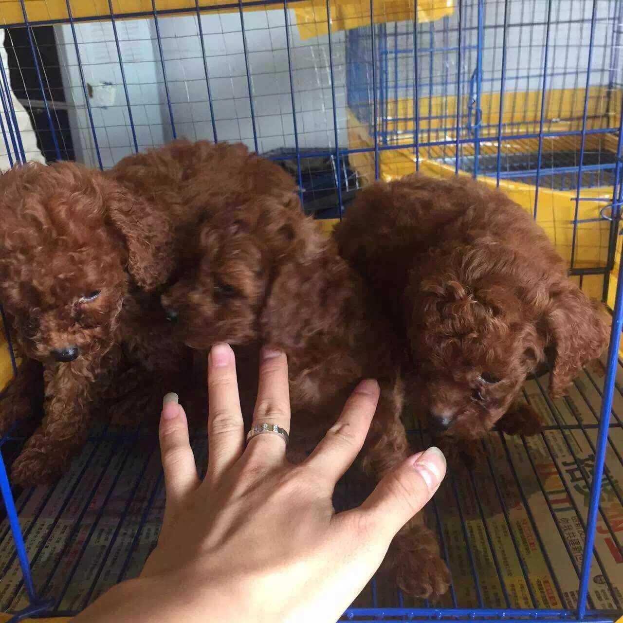 成都专业繁殖纯种泰迪幼犬可送货上门签协议保健康8