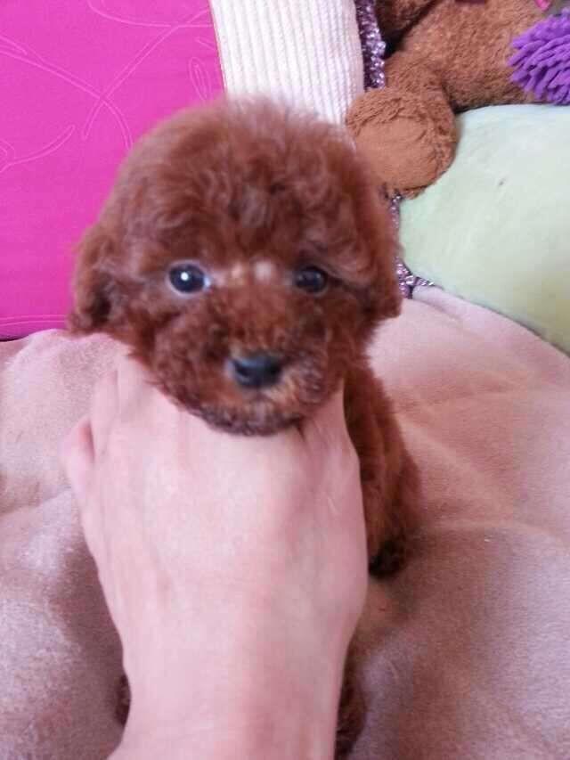 成都专业繁殖纯种泰迪幼犬可送货上门签协议保健康15