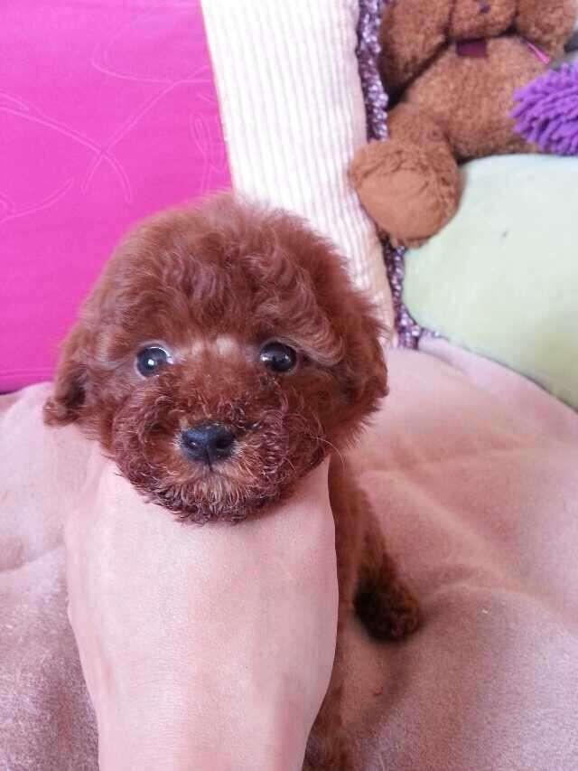 成都专业繁殖纯种泰迪幼犬可送货上门签协议保健康11