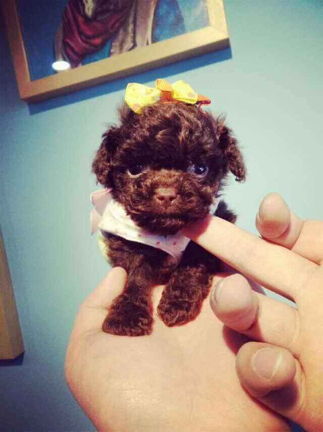 成都专业繁殖纯种泰迪幼犬可送货上门签协议保健康16