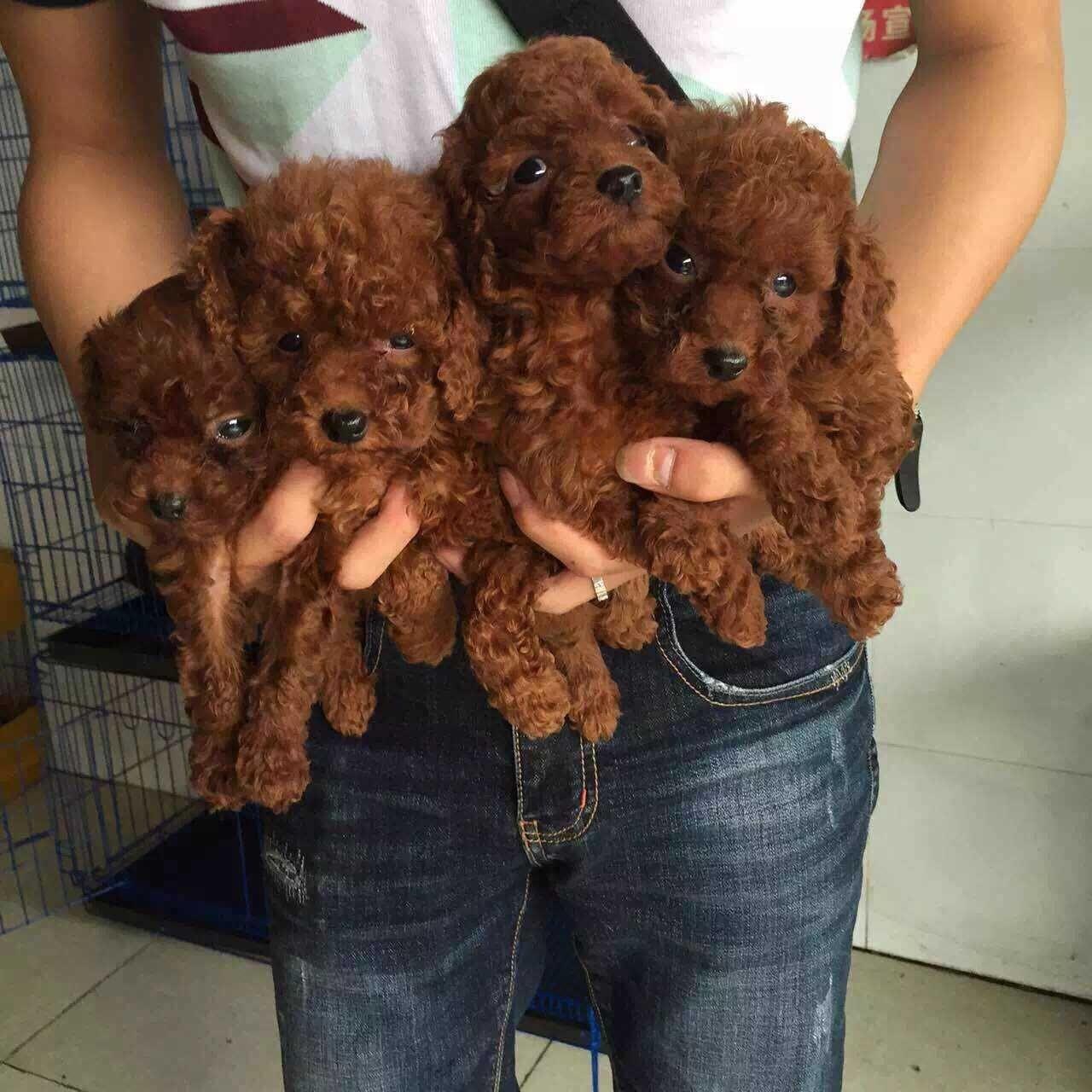 成都专业繁殖纯种泰迪幼犬可送货上门签协议保健康10