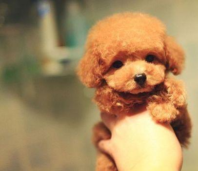 成都专业繁殖纯种泰迪幼犬可送货上门签协议保健康25