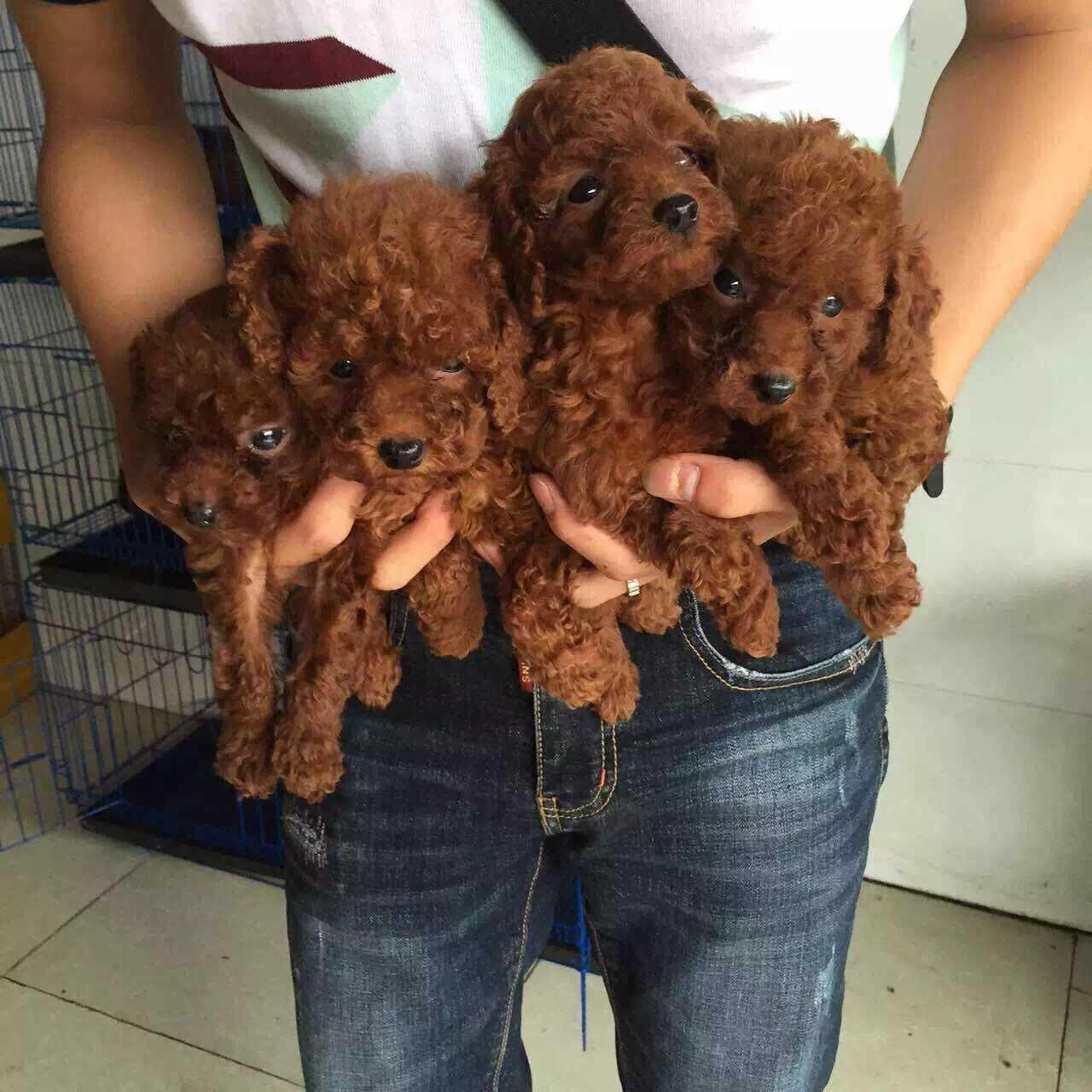 成都专业繁殖纯种泰迪幼犬可送货上门签协议保健康9
