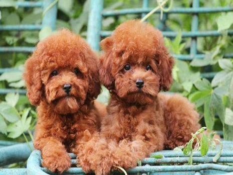 成都专业繁殖纯种泰迪幼犬可送货上门签协议保健康19