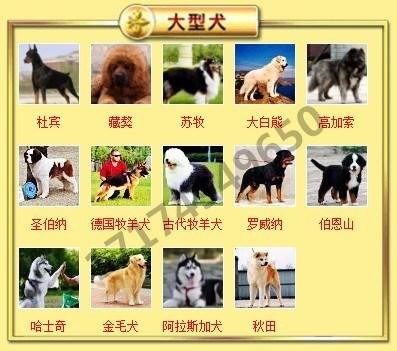 出售高品质格力犬,低价热销保健康,签订活体协议8