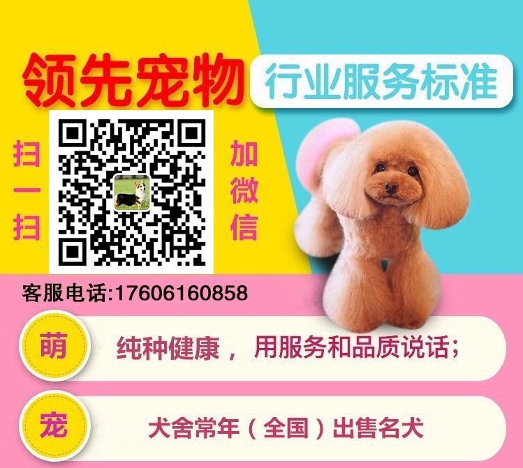 出售高品质格力犬,低价热销保健康,签订活体协议5