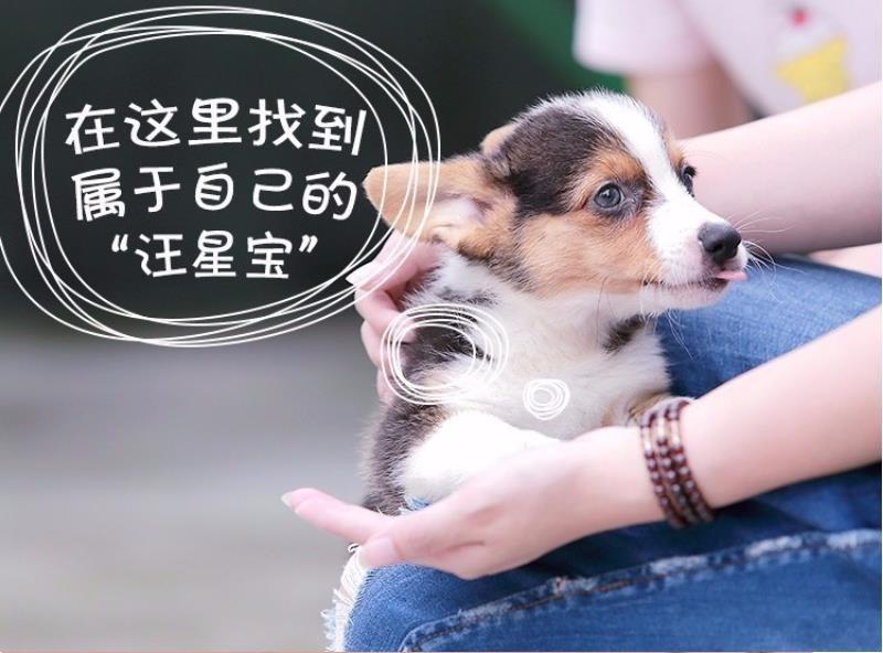 北京养殖场直销完美品相的高加索微信咨询看狗狗照片6
