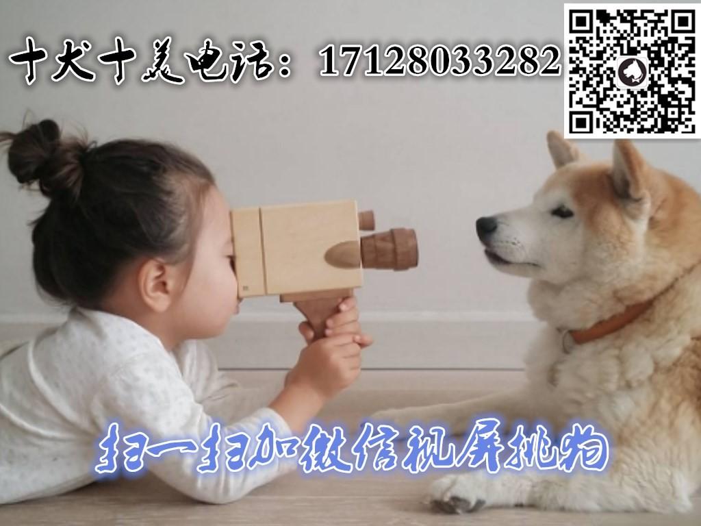 北京养殖场直销完美品相的高加索微信咨询看狗狗照片5