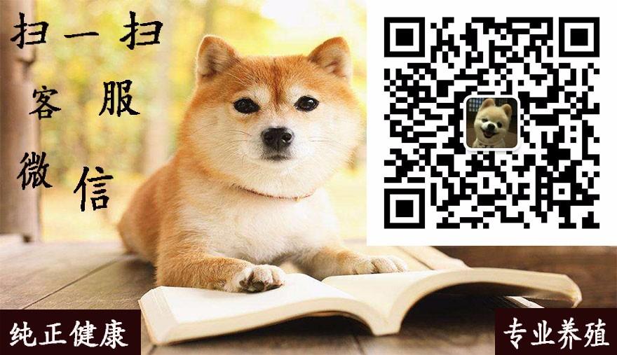 大骨架高加索犬青岛狗场火爆热卖 可支持空运可视频5