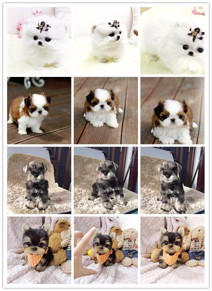 繁育基地促销极品长春泰迪犬证书齐全签协议7