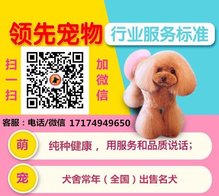 邢台犬舍繁殖纯种泰迪犬品质保证签协议可视频挑选可换5