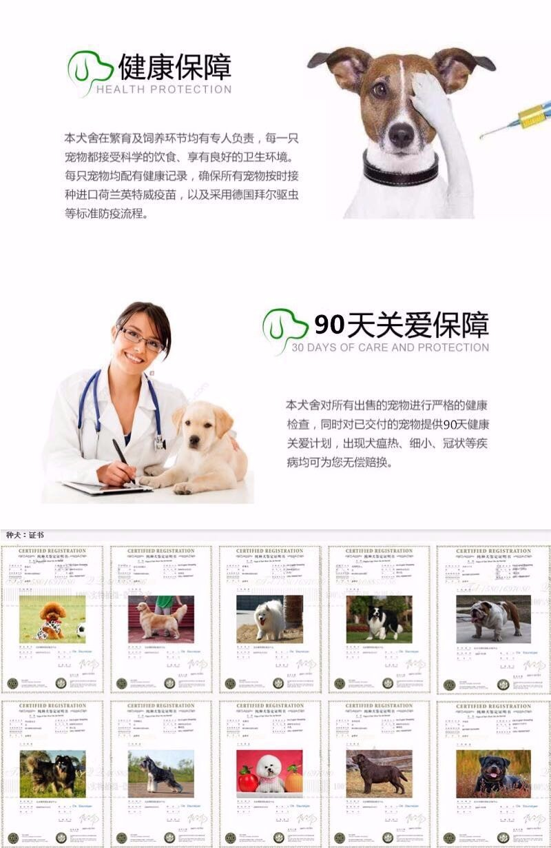 邢台犬舍繁殖纯种泰迪犬品质保证签协议可视频挑选可换11