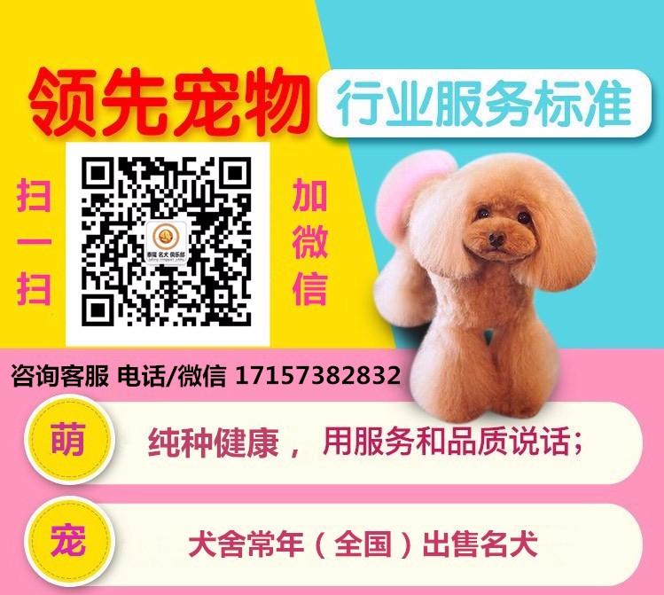 出售多种颜色纯种拉布拉多幼犬优质服务终身售后5