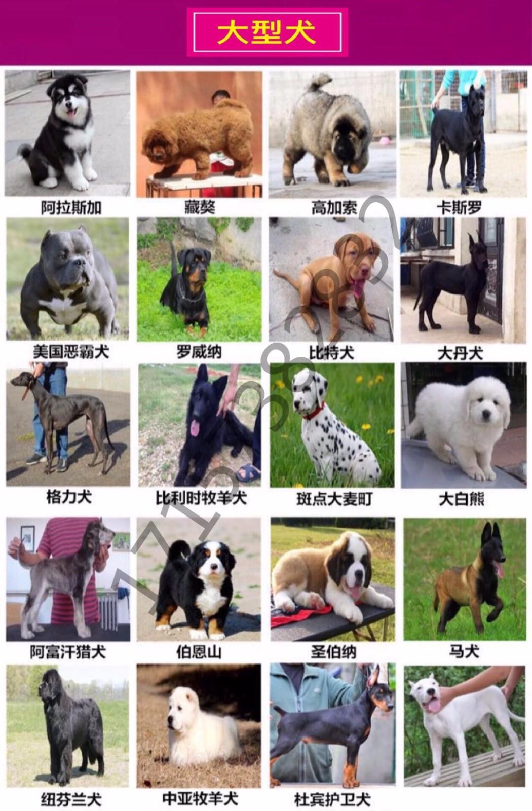 出售多种颜色纯种拉布拉多幼犬优质服务终身售后8