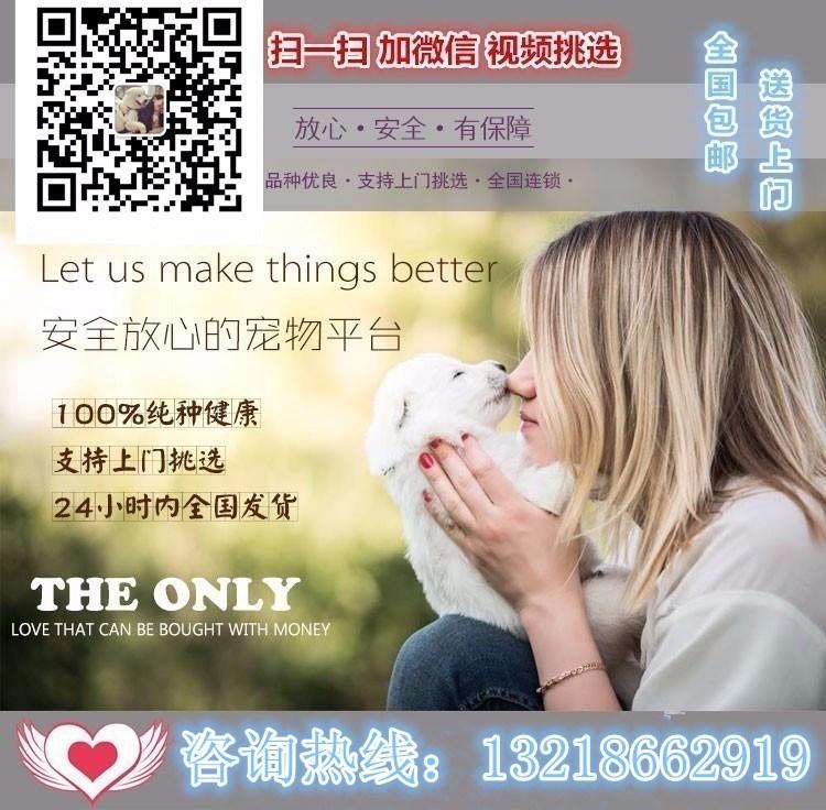 专业正规犬舍热卖优秀边境牧羊犬微信咨询看狗5
