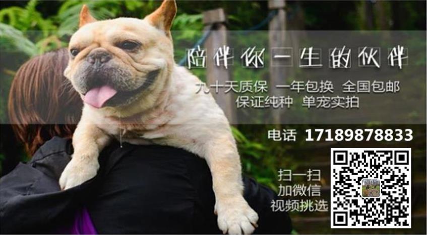 北京纯种哈多利球体博美 可视频 送货 健康可签署协议5