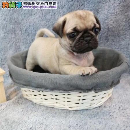 赛级精品大褶皱鹰版巴哥幼犬出售,保证健康纯种售后