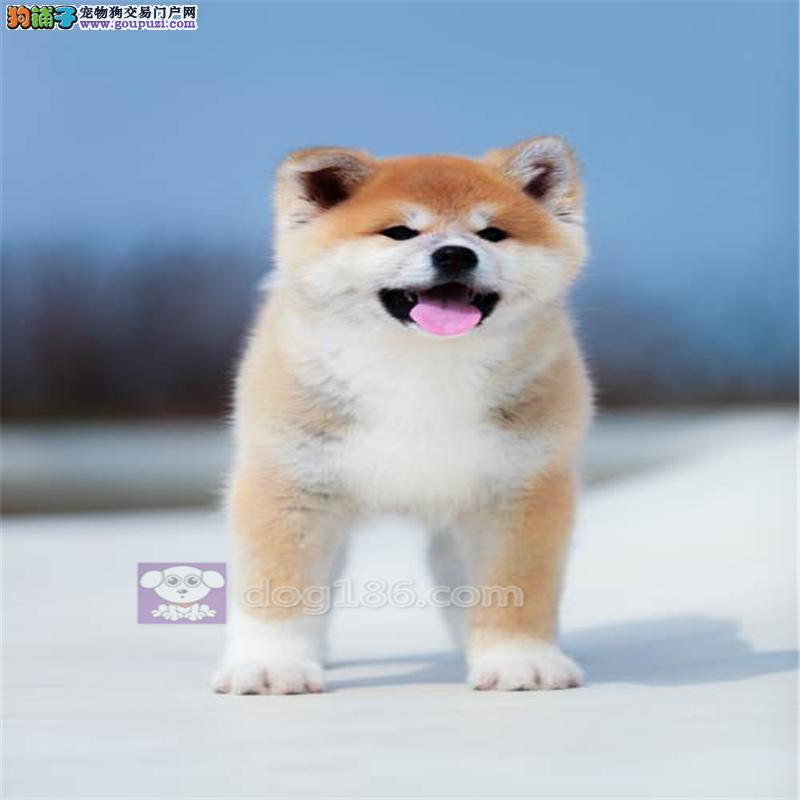 赛级精品纯种日系笑脸秋田幼犬出售,在乎品质的来看看2