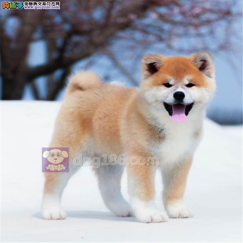 赛级精品纯种日系笑脸秋田幼犬出售,在乎品质的来看看