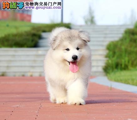 自家直销极品雪橇犬阿拉斯加宝宝/CKU认证品质绝对保证
