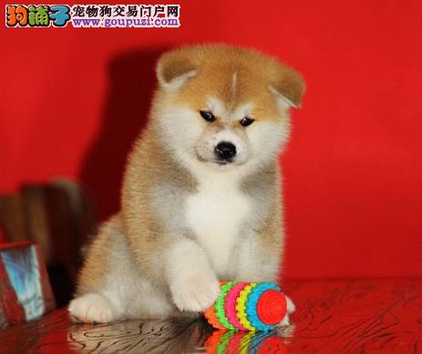 高品质秋田犬CKU认证 血统纯正 优良血统