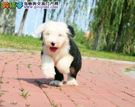 犬舍直销可爱的古牧宝宝/CKU认证品质绝对保证