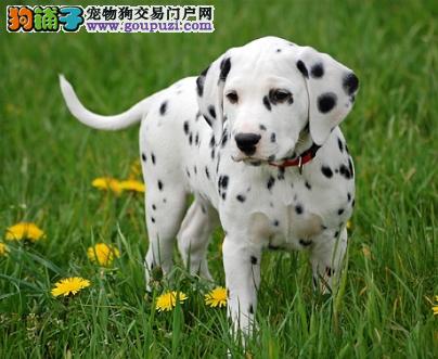 犬舍直销听话的斑点宝宝/CKU认证品质绝对保证保障血统