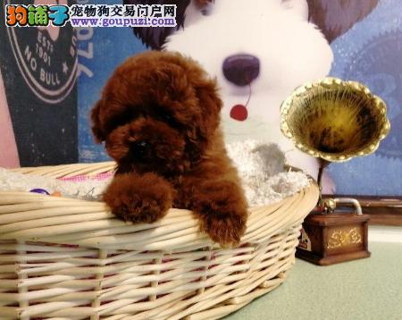 自家犬舍繁殖咖啡色泰迪/CKU认证品质绝对保证2