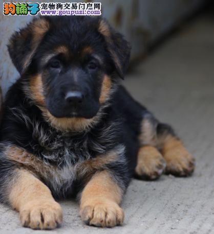 德牧又名黑背.长期做为警犬的工作犬纯种保健康3