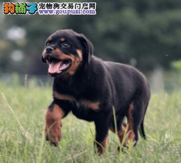 猛犬 忠实护卫犬 罗威纳 警犬.防暴犬1