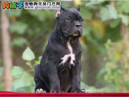真正的猛犬 卡斯罗 幼崽待售 公母都有1