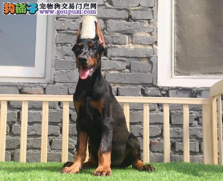 精美肌肉.发达与标准健美的身材塑造的杜宾犬