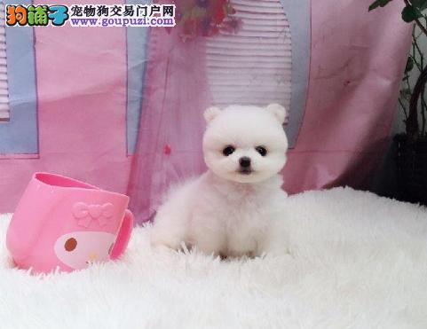出售向上突起的小嘴博美幼犬 品种优良 健康1