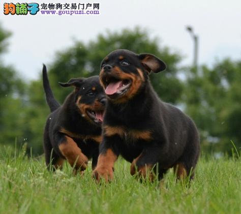 猛犬 忠实护卫犬 罗威纳 警犬.防暴犬2