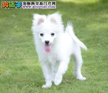 纯种小日本银狐犬.可办理血统证书