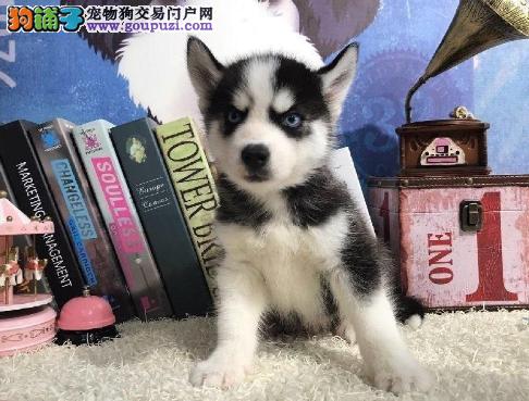 精品哈士奇犬 纯种健康 大骨架狗宝宝 哈士奇...1
