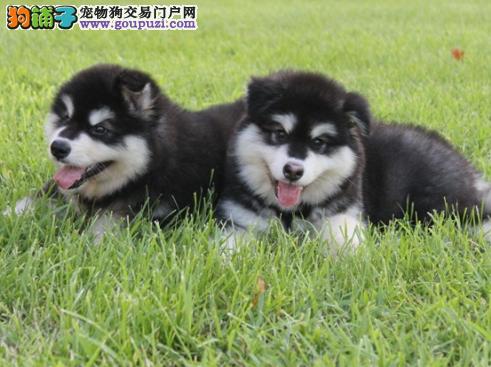 工作犬 纯种阿拉斯加雪橇犬 幼犬