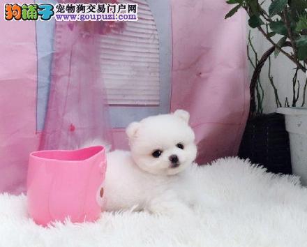 出售向上突起的小嘴博美幼犬 品种优良 健康2