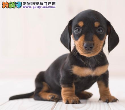 自家直销腊肠犬宝宝/CKU认证品质绝对保证