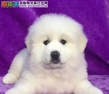 自家直销听话的大白熊犬宝宝/CKU认证品质绝对保证