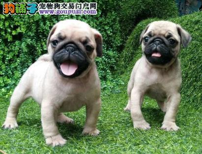 犬舍直销可爱的巴哥犬 CKU认证犬业。