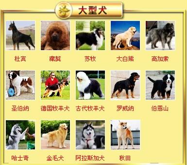 杭州基地出售大骨架高加索犬保健康质保终身8