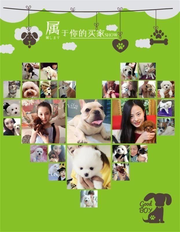 兰州正规犬舍出售茶杯玩具血系的泰迪犬 带血统证书13