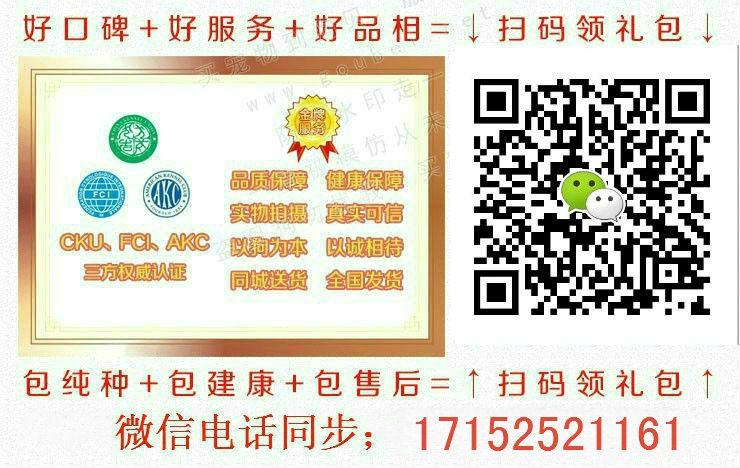 杭州基地出售大骨架高加索犬保健康质保终身5